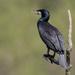 2017 04 18 - Cormorant by pixiemac