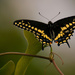Palamedes Swallowtail Butterfly! by rickster549