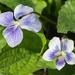 Bi-color Violets