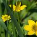 Marsh Marigold Landscape