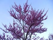 19th Apr 2017 - Redbud tree
