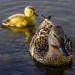 Mother & Duckling by tonygig