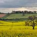 Calverton Rapeseed Oil Fields