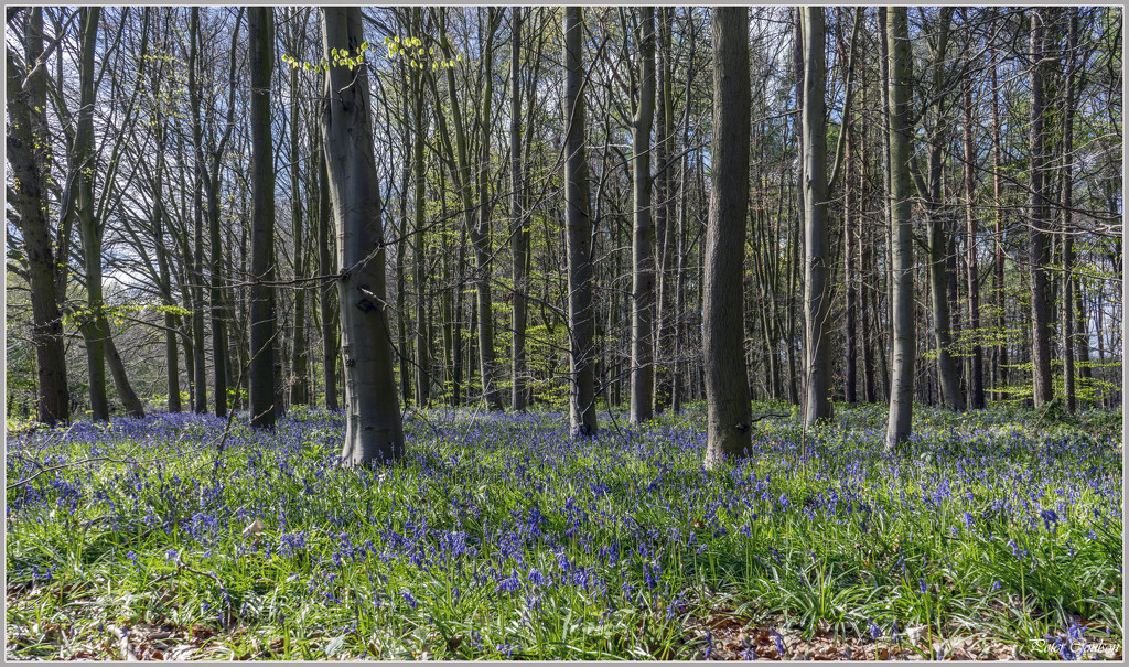 Bluebells by pcoulson