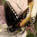 Climb Aboard A Butterfly... by grammyn