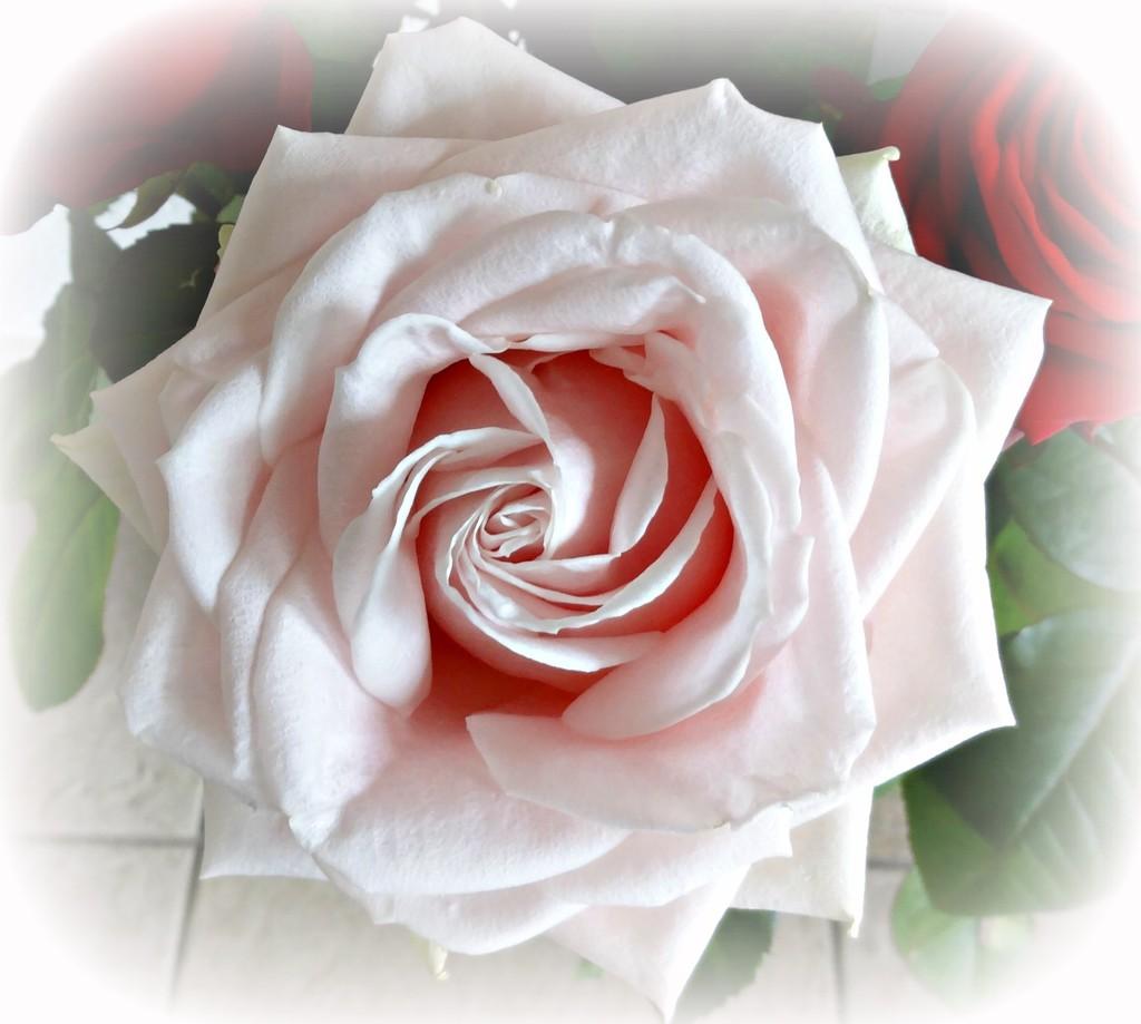 pink rose by gijsje