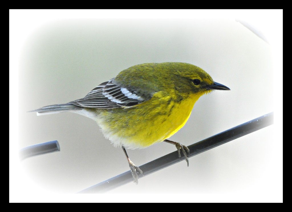 Pine warbler other side view. by sailingmusic