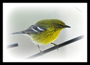 19th Apr 2017 - Pine warbler other side view.