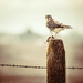 Kestrel Falcon with Prey by 365karly1