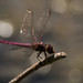 Pink Dragonfly! by rickster549