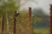19th Apr 2017 - Meadowlark on Barbed Wire
