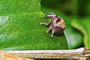 20th Apr 2017 - A Very Small Weevil - of Some Sort