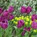 Swaying Tulips