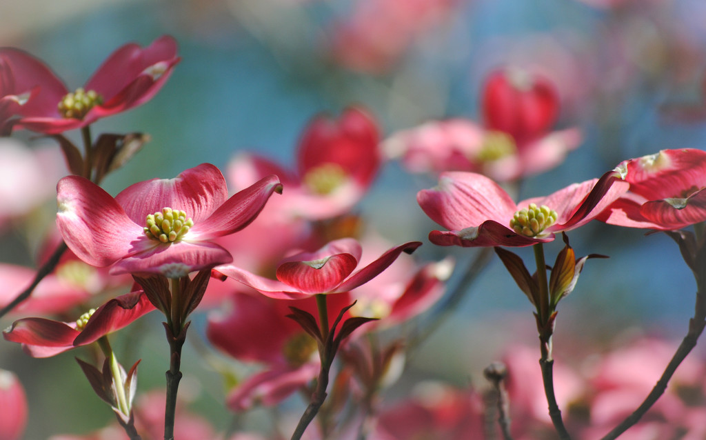 Deliciously Dogwood by alophoto