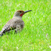 Northern Flicker by seattlite