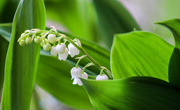 20th Apr 2017 - Lilies of the Valley
