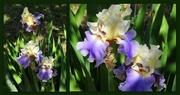 20th Apr 2017 - Sun-Dappled Bearded Irises