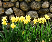20th Apr 2017 - Daffodils and stone wall.