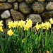 Daffodils and stone wall.
