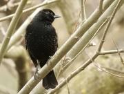 20th Apr 2017 - blackbird