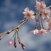 Cherry Blossoms and Buds