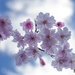 Cherry Blossoms, Backlit