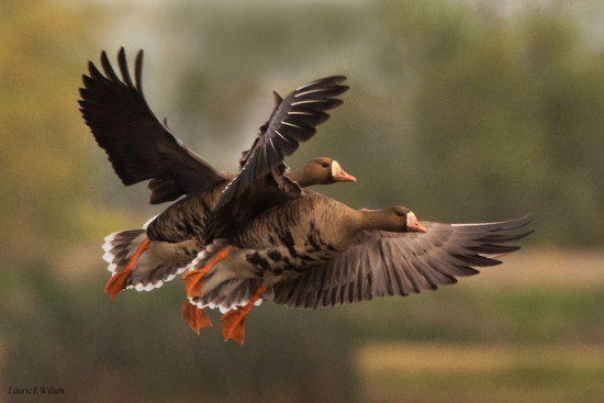 White Fronted Geese Duo..Come In For a Landing by laurieewilson