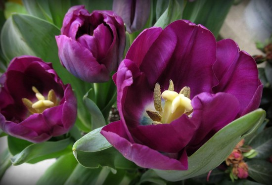 Purple tulips by mittens