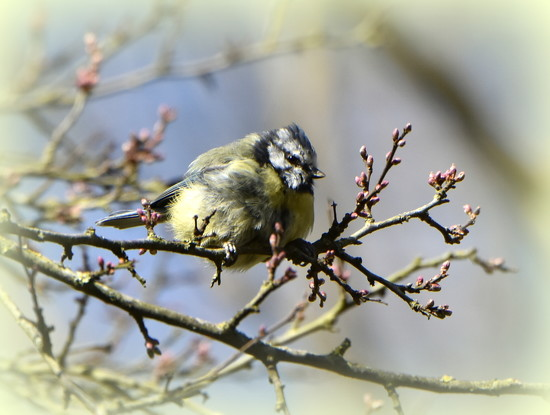 What a scruffy little blue tit by rosiekind