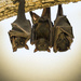 fruitbats by jerome