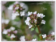 22nd Apr 2017 - Thyme