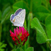 First Eastern Tailed Blue by milaniet