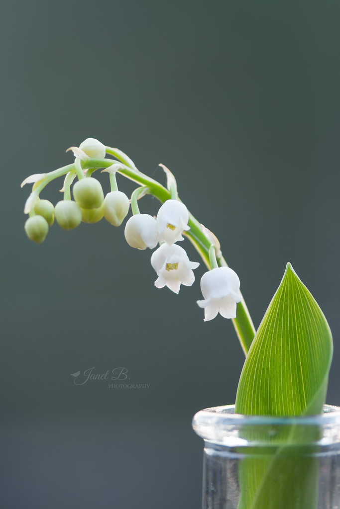 Lily-of-the-Valley by janetb