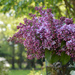 Lilac bouquet in the garden  by parisouailleurs