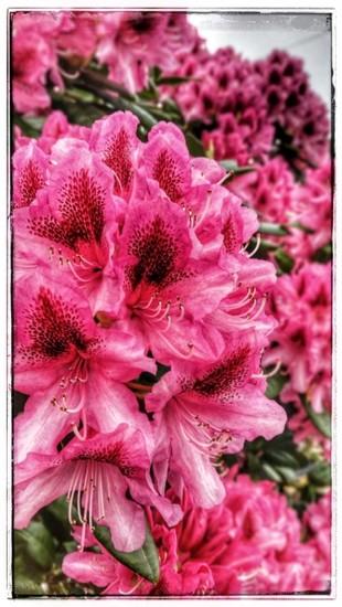 Pretty in pink! by lyndamcg
