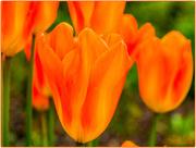 22nd Apr 2017 - Flaming Orange