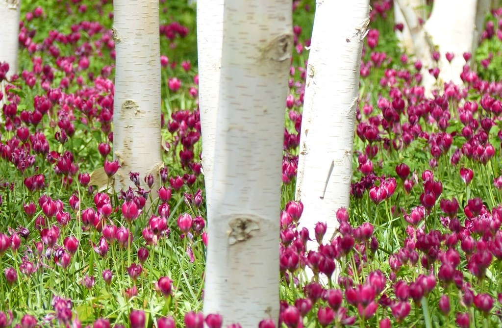 Tulips between Silver Birches by foxes37