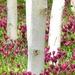 Tulips between Silver Birches