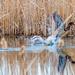 Wood Duck Takeoff Wide