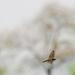 Swallow in flight wide before trees