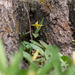 Yellow Trout Lily by Tree Stump