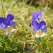Mountain pansies by roachling