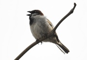 22nd Apr 2017 - sparrow noise
