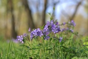 21st Apr 2017 - wildflowers in the woods
