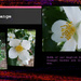 English Dogwood/Mock Orange collage