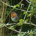 robin in the hedge