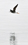 22nd Apr 2017 - Another yellowlegs in flight