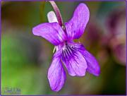 23rd Apr 2017 - Wood Violet