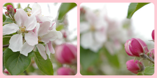 Apple blossom as far as the lens could focus by 30pics4jackiesdiamond