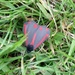 Flame Brocade Moth